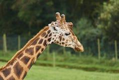 Do girafa fim acima e pessoal Foto de Stock Royalty Free