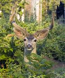 Do I Know You?. Mule deer buck raises head from berry bushes to look into camera Royalty Free Stock Photography