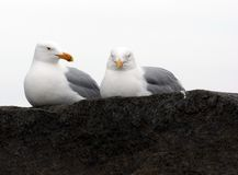 Do i know You?. Two gulls sit on a stone at ashore ocean Stock Photography