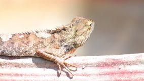 Do lagarto oriental do jardim do lagarto detalhe tomando sol do close up filme