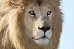 Do leão fim branco acima fotos de stock royalty free