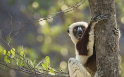 Do Lemurs Smile? Stock Photos