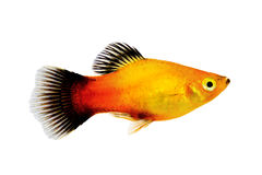 Do maculatus masculino de Xiphophorus do platy do Sunburst peixes tropicais do aquário Foto de Stock