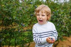 3 do menino anos de mirtilos da colheita na baga orgânica colocam Foto de Stock Royalty Free