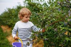 3 do menino anos de mirtilos da colheita na baga orgânica colocam Foto de Stock