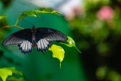 Do mormon escarlate da borboleta do swallowtail que empoleira-se em uma folha imagem de stock royalty free