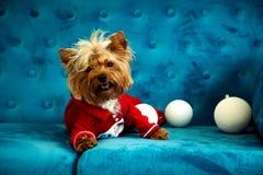 Do Natal azul tiffany do ano novo do animal de estimação do cão da cor de turquesa do sofá da sessão de foto brinquedo vermelho d Foto de Stock