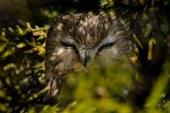 Do norte Serra-afiar a coruja - acadicus de Aegolius fotografia de stock