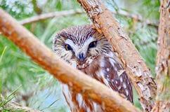 Do norte Serra-afiar a coruja no selvagem Imagens de Stock Royalty Free