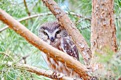 Do norte Serra-afiar a coruja no selvagem Fotografia de Stock