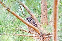Do norte Serra-afiar a coruja no selvagem Fotografia de Stock Royalty Free