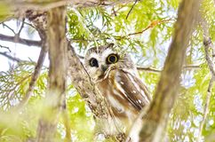 Do norte Serra-afiar a coruja no selvagem fotos de stock royalty free