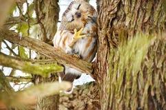 Do norte Serra-afiar a coruja no selvagem foto de stock royalty free