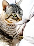 Do not disturb me staring you. A cat stay in the arm safy.the girls and women like to foste the pet in home. spend the spare and leisure time for life. the pet Royalty Free Stock Photos
