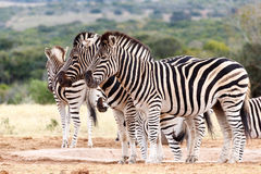 Do Not Look At The Camera - Burchell's Zebra Stock Image