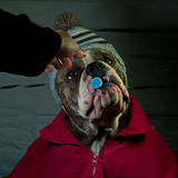 Do not take my teat. The little bulldog does not want to get rid of his teat Stock Photos
