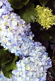 Do Ornamental flores inativamente Fotografia de Stock Royalty Free