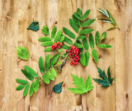 Do outono vida ainda Bagas das folhas da cinza e do verde de montanha na Foto de Stock Royalty Free