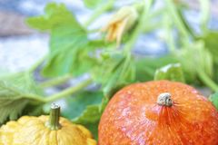 Do outono vida ainda da abóbora e da polpa pattypan no fundo verde da folha Imagens de Stock Royalty Free