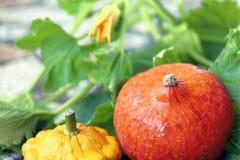 Do outono vida ainda da abóbora e da polpa pattypan no fundo verde da folha Fotos de Stock Royalty Free
