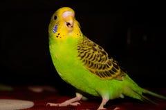 Do periquito verde do periquito boca aberta bonita e amarelo Fotos de Stock Royalty Free