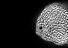Do preto exótico dos peixes de Diskus o azul branco da cor do aquário isolou o animal da natureza do fundo foto de stock