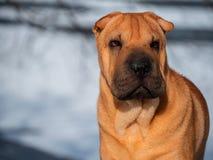 Do retrato favorito da pele do vermelho da neve da caminhada do inverno de Shar Pei Park da raça da casa do cão dia ensolarado foto de stock royalty free