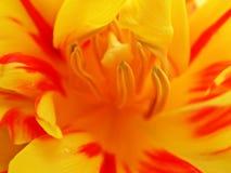 do środka 1 tulipan Zdjęcie Royalty Free