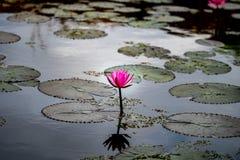 Do rosa lótus waterlily na lagoa foto de stock royalty free