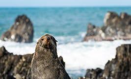 Do Seal Simle Stock Photography