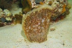 Do shell ambarino da pena do carnea da barbatana molusco bivalve imagens de stock royalty free