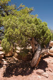 Do trees have a personality?. Painfully twisted and contorted Juniper at the Spider Rock Overlook at the end of the South Rim Drive in Canyon de Chelly National stock photography