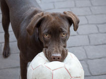Chocolate Labrador with ball. Dog (Labrador Retriever puppy) waiting to play with the ball Royalty Free Stock Images