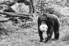 Do you want to play?. Nice gorilla wants to play football in the zoo of Rome, ITALY Royalty Free Stock Image