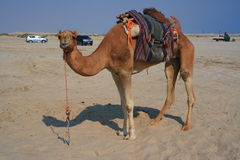 Do you want to ride me. Camel in a winter camp in Qatar waiting the tourists for a ride Royalty Free Stock Photo