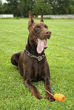 doberman εύθυμο κόκκινο σκυλιώ& Στοκ εικόνα με δικαίωμα ελεύθερης χρήσης