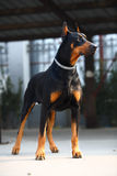 doberman σκυλί Στοκ Φωτογραφίες