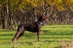 Doberman в траве осени Стоковое Изображение
