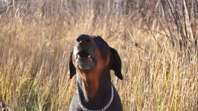 Doberman собаки лаяет в природе сток-видео