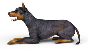 Doberman Royalty Free Stock Images