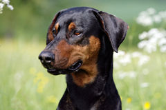 Doberman Stock Photo