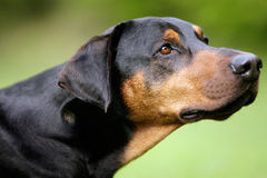Doberman Stock Photos