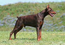 Doberman Royalty Free Stock Photography