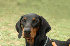 Doberman Royalty Free Stock Photos