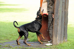 doberman royaltyfria bilder