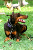 Doberman Royalty Free Stock Photo