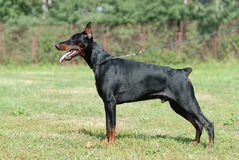 Doberman Fotografia de Stock Royalty Free