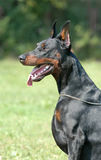 DOBERMAN Foto de Stock