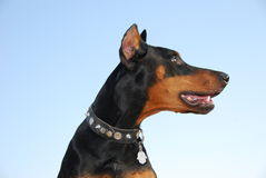 Doberman Stock Fotografie