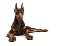 doberman Obraz Royalty Free